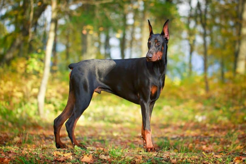 Doberman Pinscher standing in the forest