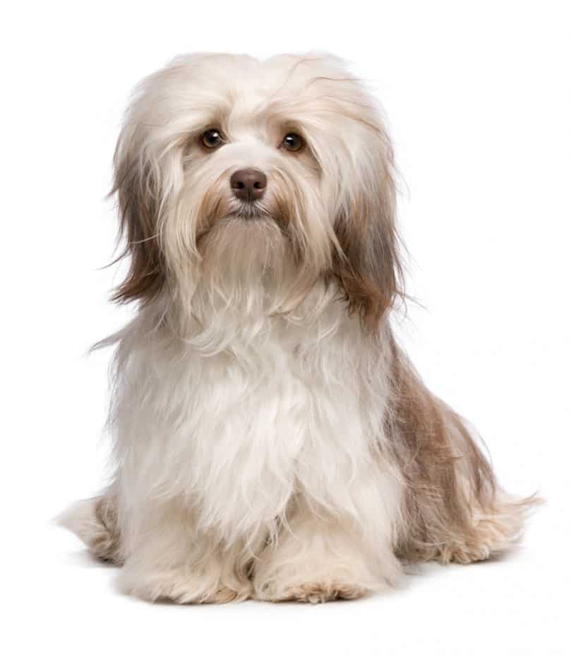 Gray and white Havanese dog