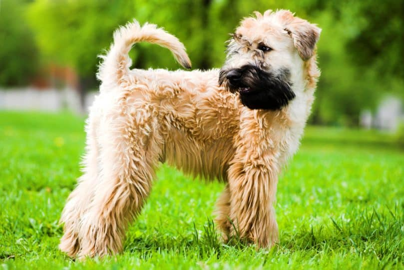 Irish Soft-Coated Wheaten Terrier standing in the grass