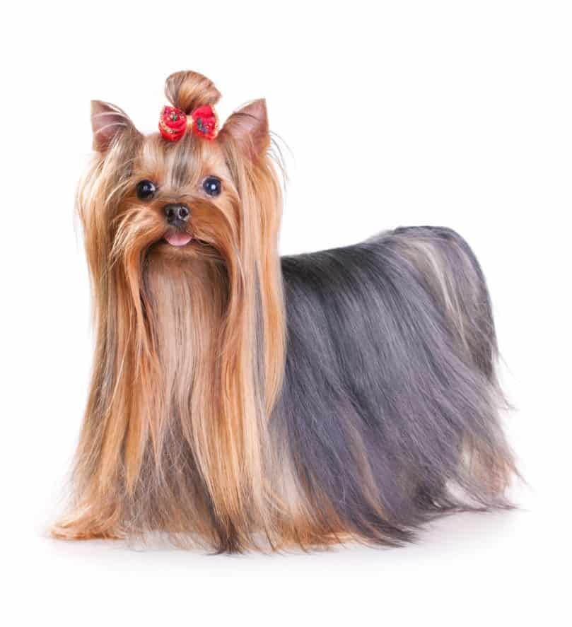 Yorkshire Terrier with long coat and a ribbon