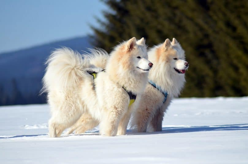 Two Samoyed dogs in the snow