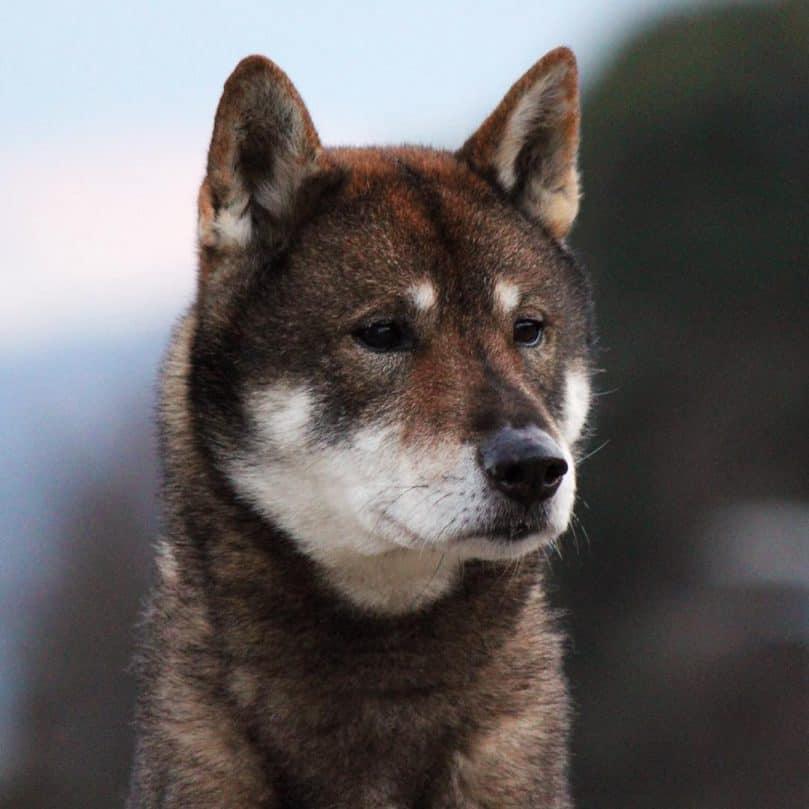 Close up of a Shikoku dog
