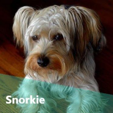 Snorkie also known as Schnauzer Yorkie Mix or Schnerrier