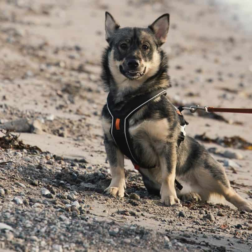 Swedish Vallhund sitting in the sand