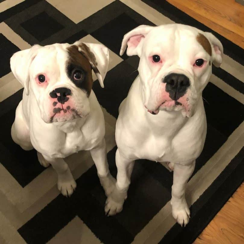 White Boxers side by side