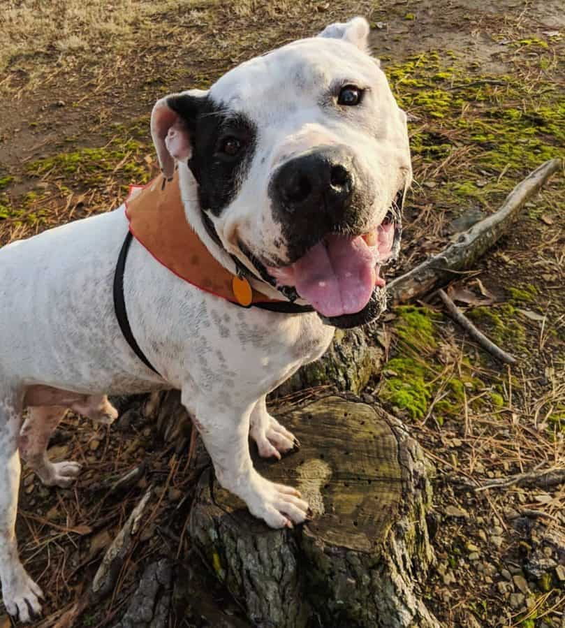 Top 5 Myths on the American Bulldog Pitbull Mix - Animalso