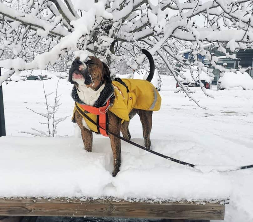 Bulldog Pitbull Mix standing in the snow