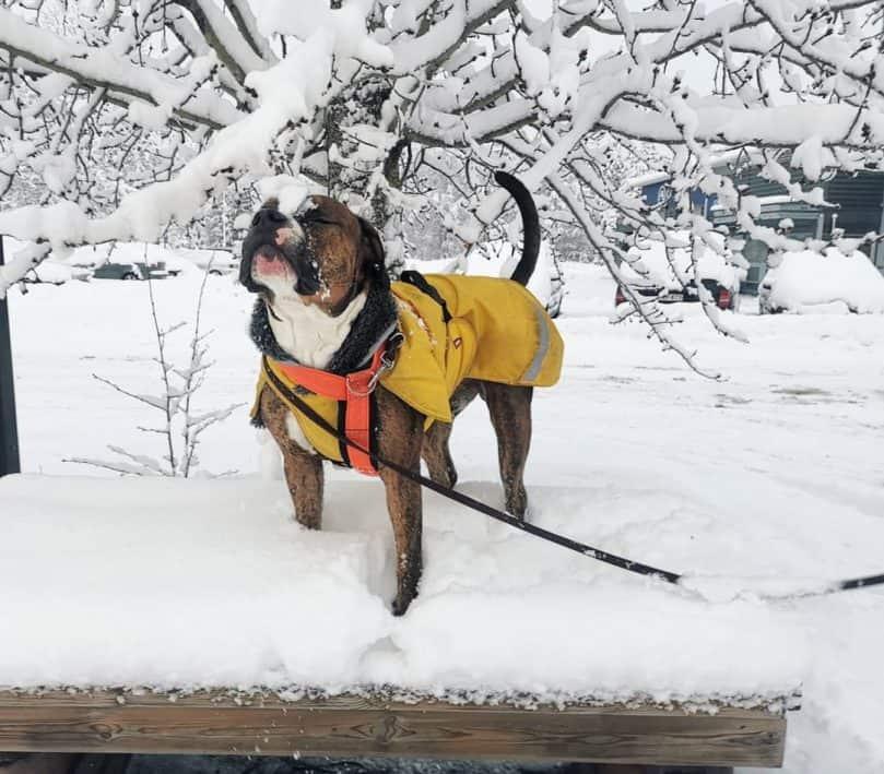 Bulldog Pitbull Mix standing in the snow
