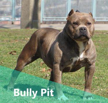 Pitbull Bulldog Mix also known as Bully Pit or Bulldog Pitbull Mix