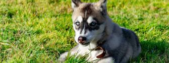 Miniature Husky laying in the grass