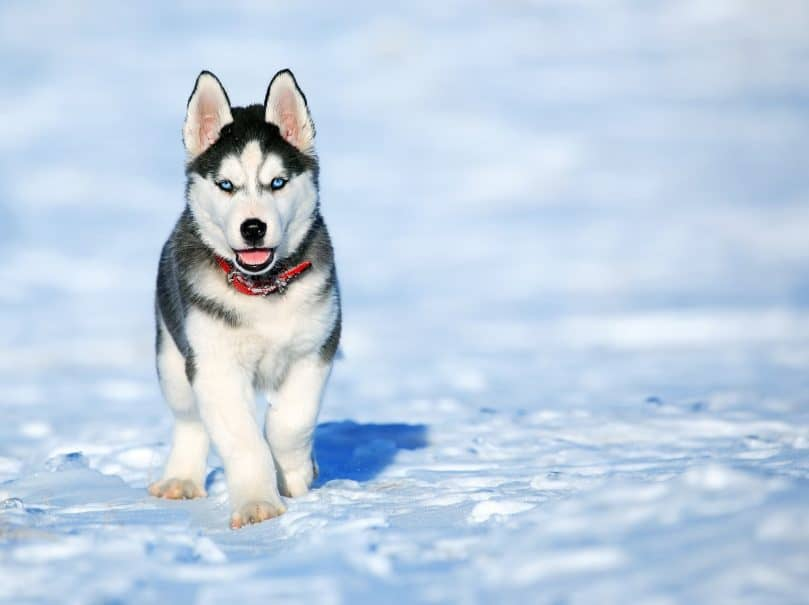 Miniature Husky in the snow