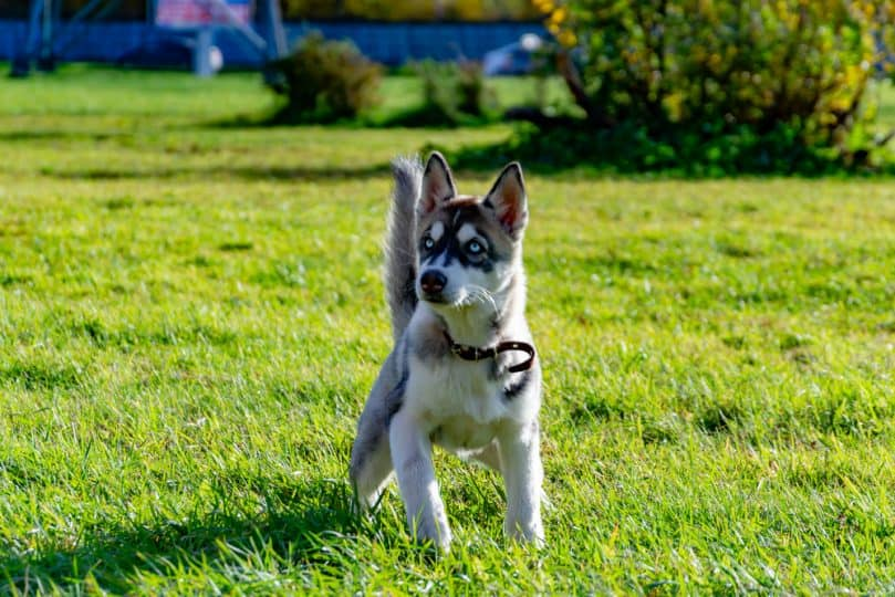 Mini Husky playing in the sun