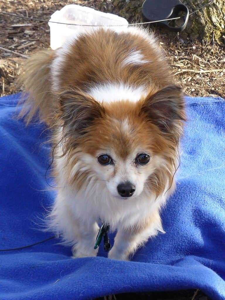Papillon Chihuahua Mix standing on a blanket