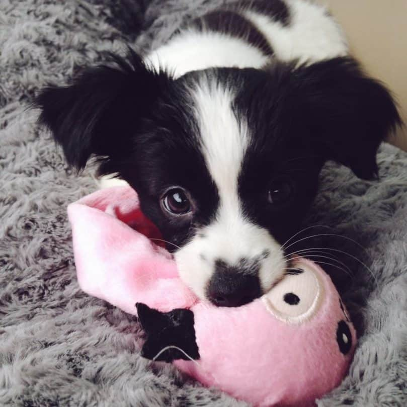 Pap Chi mix puppy with a toy