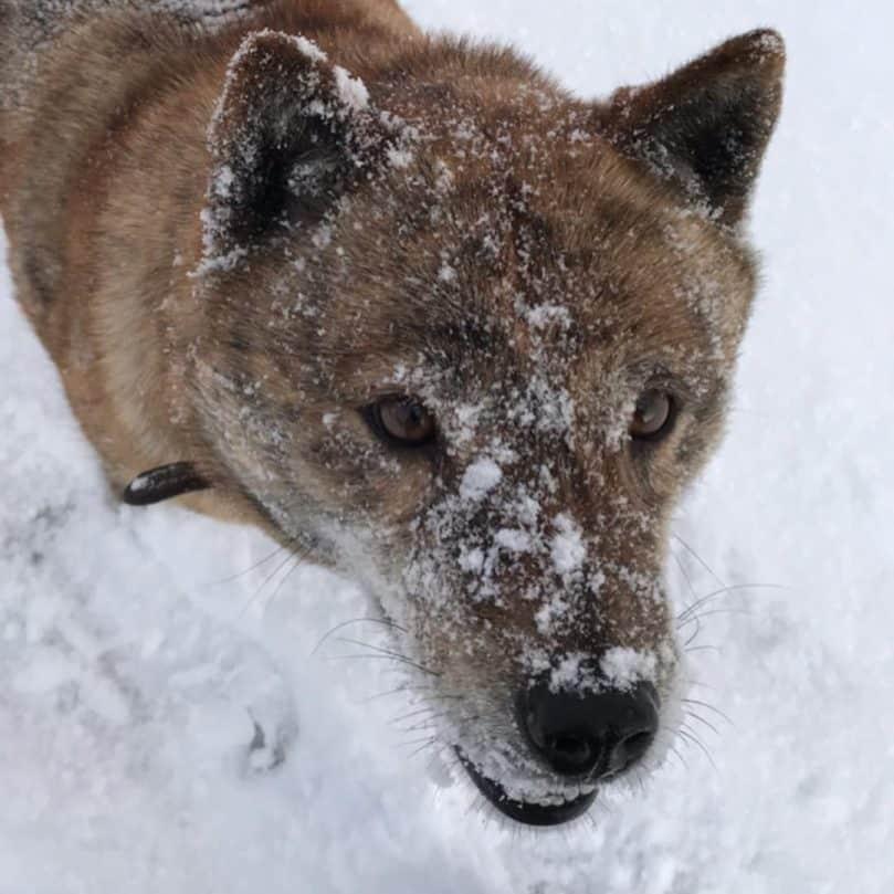 Hokkaido dog in the snow