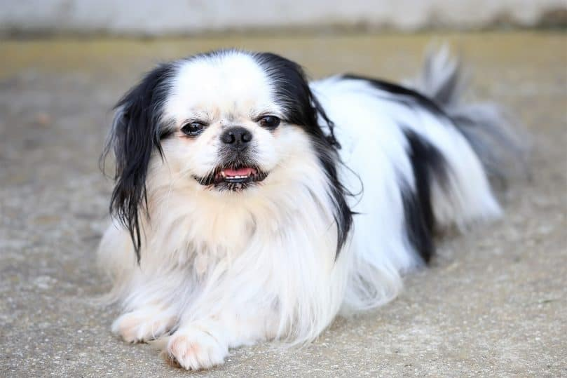 Japanese Chin laying on the ground