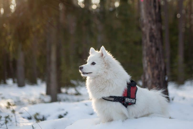 Japanese Spitz in the snow