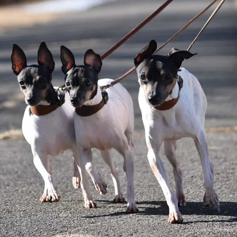 Three Japanese Terrier go on a walk