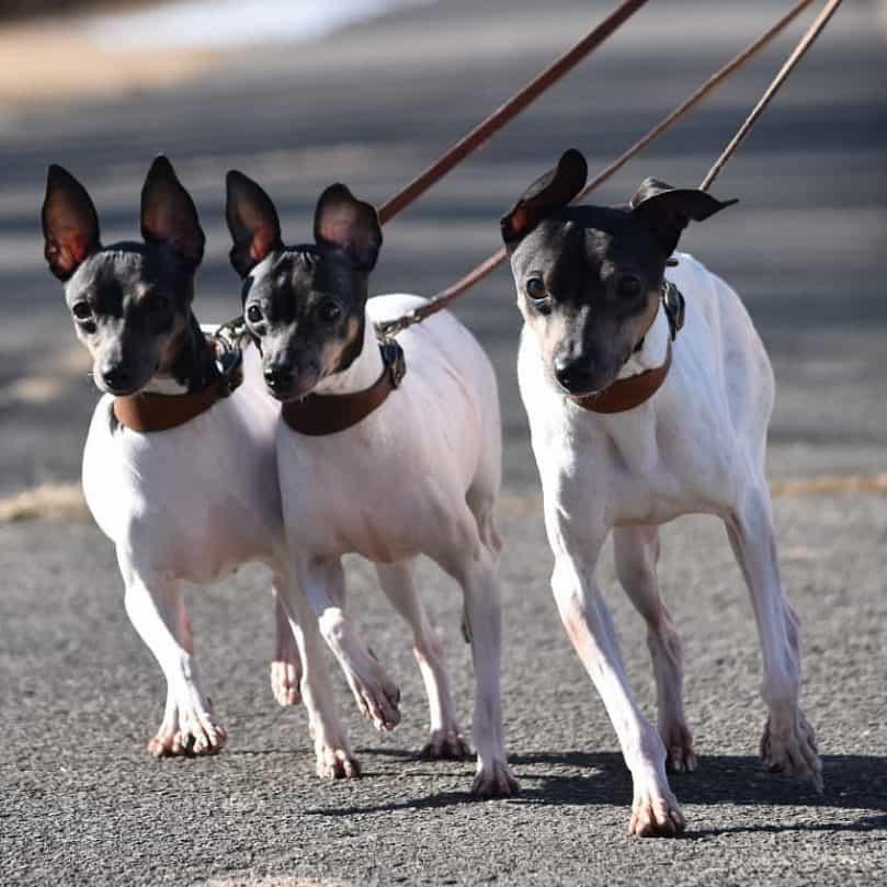 Three Japanese Terrier go on a walk