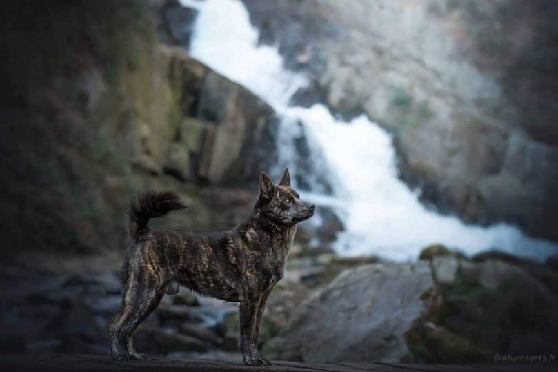 Kaiken Dog stands by a waterfall