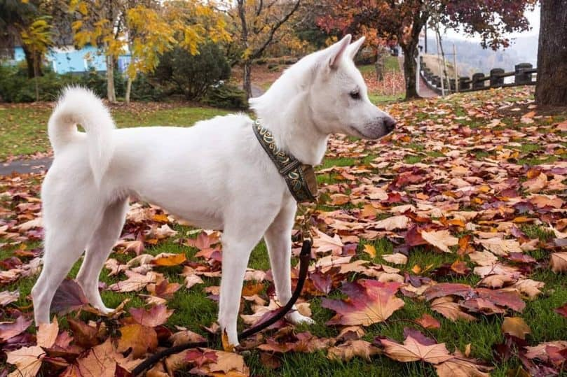 Kishu dog outside in the leaves