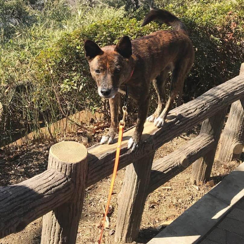 Ryukyu dog climbing a fence