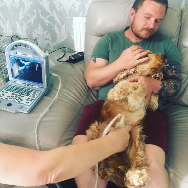 Cockapoo getting an ultrasound