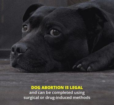 Dog Abortion