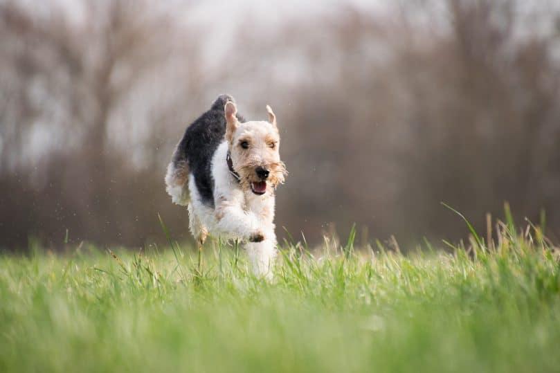A dog runs through the grass