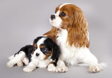 Photo of a puppy and adult Cavalier King Charles Spaniel
