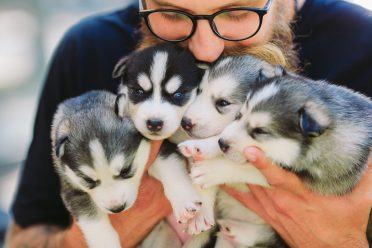 A breeder kissing and hugging four Siberian Husky puppies