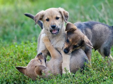 Three young puppies playing on the grass