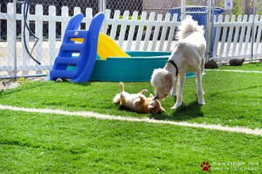 Two dogs are interacting in a play area of a dog boarding kennel