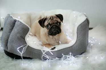 A Pug sitting on a bolster-type heated dog bed