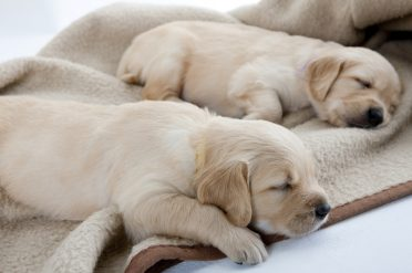 Golden Retriever puppies sleeping on a soft warming mat