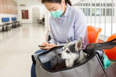 A woman wearing a mask and traveling with her Chihuahua in a bag