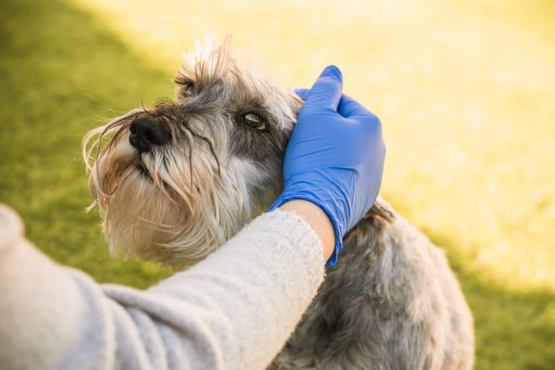 An owner wearing gloves while petting her dog during the Coronavirus pandemic